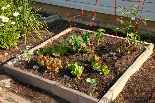 Salad Garden - Early July